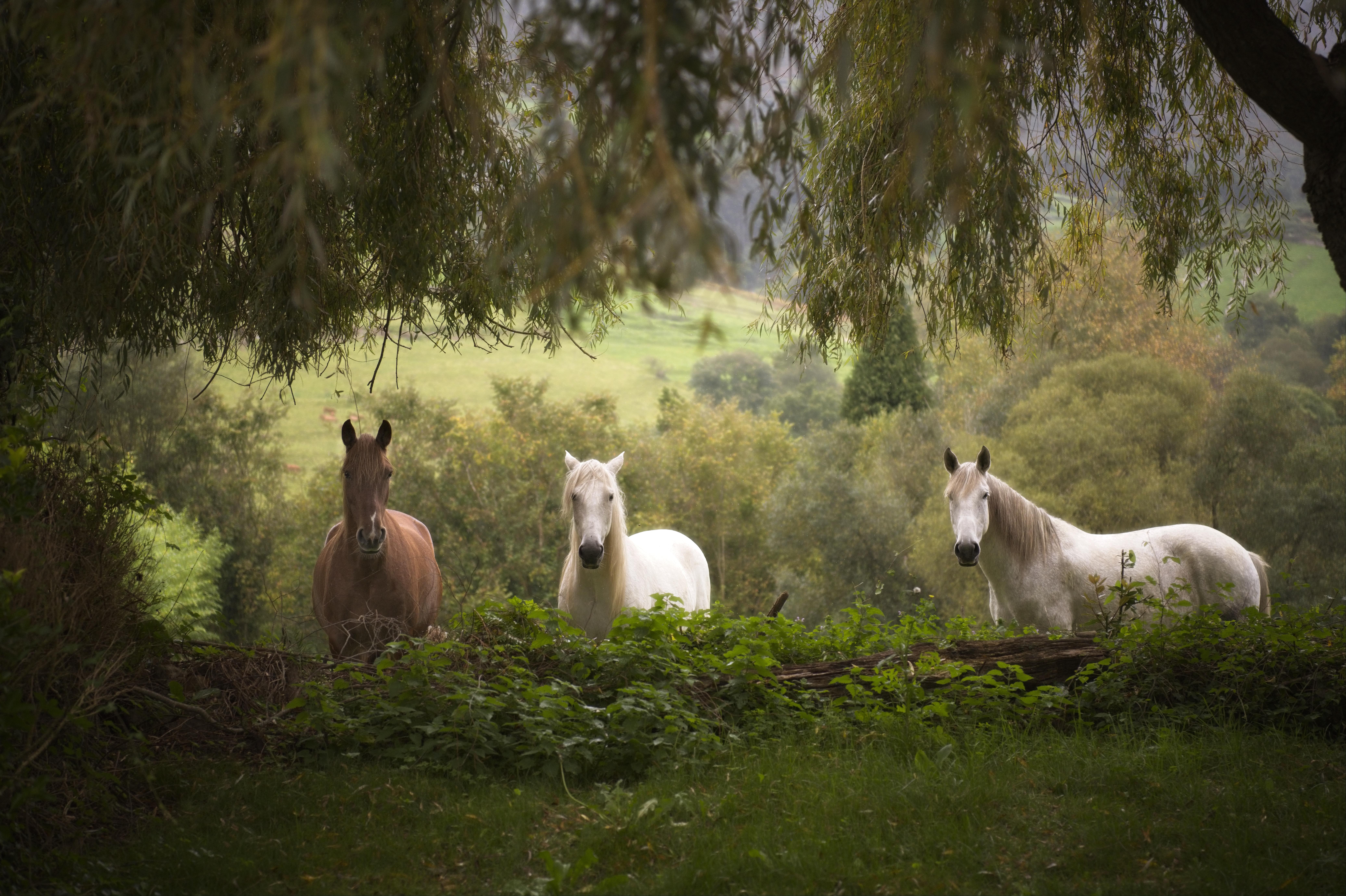 Horses - Noriega (Asturias)